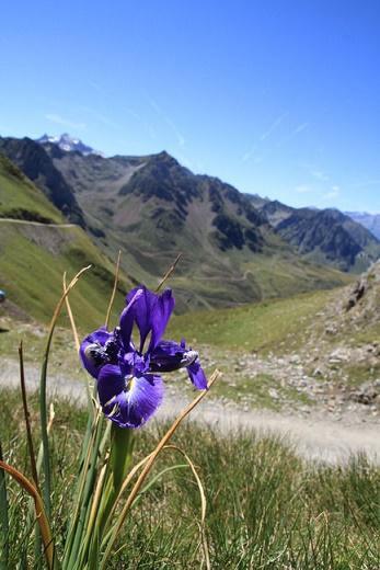 fleurs-des-pyrenees-IRIS