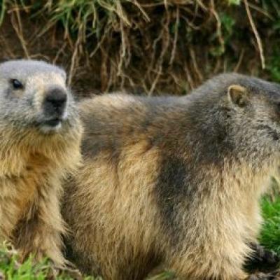 les-marmottes-