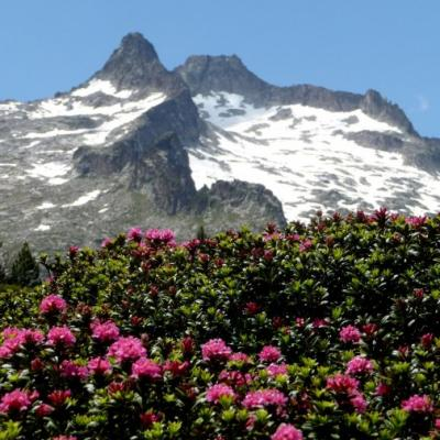 neouvielle et rhododendron